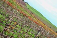 在阿德莱德小山的五颜六色的酒orchad 免版税库存照片
