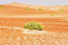 在阿拉伯沙漠的沙丘的绿色灌木 免版税库存图片