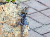 在阿拉尼亚海岸的卡帕多细亚土耳其蜥蜴  库存图片