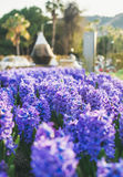 在阿拉尼亚,土耳其中央街道的开花的淡紫色风信花  免版税库存图片