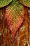 在阿拉斯加生叶在秋天在北方森林里 库存照片