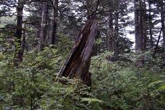 在阿拉斯加的山的残破的树桩 免版税图库摄影
