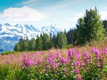 在阿拉斯加的风景前景的桃红色野花野草与 库存照片