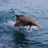 在阿曼的高尔夫球的海豚 免版税库存照片