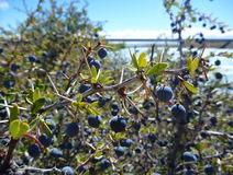 在阿根廷巴塔哥尼亚的典型的蓝色莓果el calafate 免版税库存图片