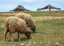 在阿特拉斯山脉的幼小新的绵羊在背景巴巴里人村庄 免版税库存图片