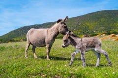 驴在阿西纳拉岛海岛在撒丁岛,意大利 免版税库存图片