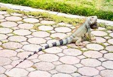 在阿鲁巴海岛上的Leguan 库存图片