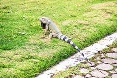 在阿鲁巴海岛上的Leguan 免版税库存图片