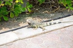 在阿鲁巴海岛上的Leguan 库存照片