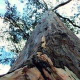 在阿维拉山的大老树 免版税库存照片