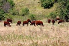 在附上的区域的黑褐色母牛镇静地站立和吃干草保护与电线围拢与未割减的草 图库摄影