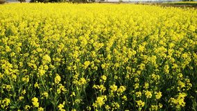 在附近村庄的明亮的黄色芥末领域 免版税库存图片
