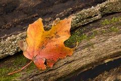 在附近爬行叶子槭树青苔迟缓地 免版税图库摄影