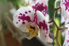 在附近的杂色,白色和紫色花兰花植物兰花 免版税库存图片