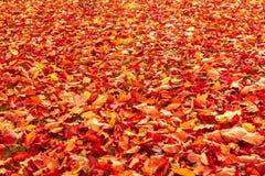 在陆运的秋天橙色和红色秋叶 免版税图库摄影