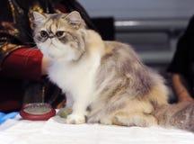 在陈列的一只好的猫 免版税库存照片