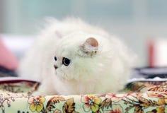 在陈列的一只好的猫 免版税库存图片