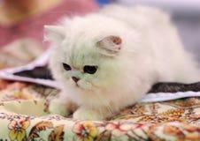 在陈列的一只好的猫 库存照片