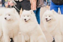 在陈列的三狗萨莫耶特人 库存照片