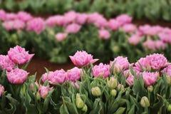 在陈列的紫色郁金香 免版税图库摄影