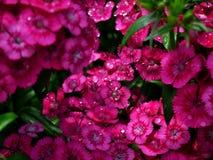 在降雨量以后的美丽的桃红色花 免版税库存照片