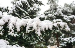 在降雪下的冷杉木 库存图片