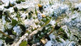 在降雪下的第一个花蒲公英 图库摄影