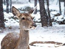 在降雪中间的母马鹿在森林里 库存照片