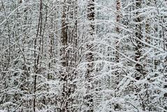 在降雪以后的冬天森林 免版税库存照片