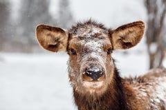 在降雪期间的一头鹿 免版税图库摄影