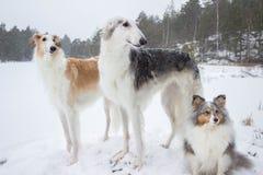 在降雪的俄国猎狼犬&设德蓝群岛牧羊犬 免版税库存图片