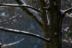 在降雪的老角树 库存图片