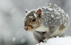 在降雪的逗人喜爱和可爱的东部灰色灰鼠用两只手阻止了对胸口 免版税库存图片