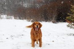 在降雪的金毛猎犬 免版税库存照片
