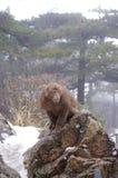 在降雪的登上黄山的猴子 免版税库存照片
