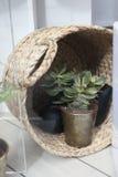 在陶瓷杯子的Echeveria多汁玫瑰华饰有被弄脏的明亮的黄绿色背景copyspace的,盘子多汁植物生长 免版税库存图片