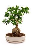在陶瓷罐的盆景树 免版税库存图片