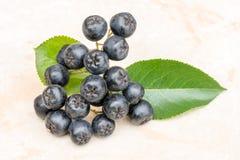 在陶瓷背景的成熟水多的堂梨属灌木或Aronia melanocarpa 充分有机和素食食物维生素 免版税库存照片