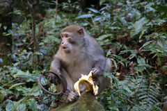 在陷井的猴子 免版税库存图片