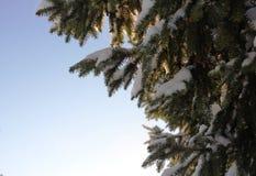 在随风飘飞的雪穿戴的绿色云杉 库存照片