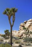 在隐藏的谷的约书亚树与蓝天 免版税库存图片