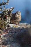 在隐藏的非洲蹄兔 图库摄影
