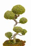 在隔绝的一棵盆景树。 库存照片