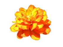 在隔绝的橙色花 库存照片