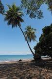 在雄鸭,哥斯达黎加海滩的可可椰子  库存照片