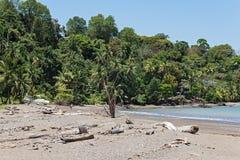 在雄鸭,哥斯达黎加海滩的可可椰子  免版税库存图片