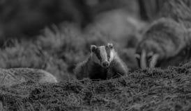 在集合的獾崽 库存图片