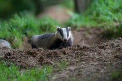 在集合的獾崽 库存照片