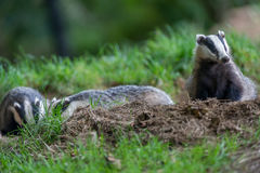 在集合的獾崽 免版税库存照片